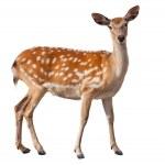 Fallow Deer — Stock Photo #14746845