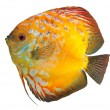 Beautiful South Americfish Discus — Stock Photo #18464247