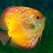 Beautiful South American fish Discus in aquarium — Stock Photo