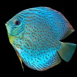Blue spotted fish Discus - Stock Photo