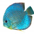 Blue spotted fish Discus — Stock Photo