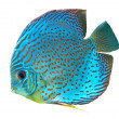Stock Photo: Blue spotted fish Discus
