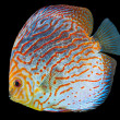South American fish Discus 1 - Stock Photo
