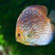 South American fish Discus 0 - Stock Photo