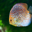 Stock Photo: South Americfish Discus 0