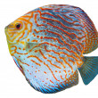 South American fish Discus 2 - Stock Photo