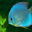 Blue spotted fish Discus in aquarium - Stock Photo