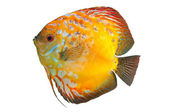 Beautiful South American fish Discus — Stock Photo