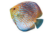 South American fish Discus 2 — Stock Photo