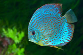 Blue spotted fish Discus in aquarium — Stock Photo