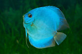 Blue Discus in aquarium — Stock Photo