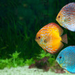 Three bright discus in aquarium - Stock Photo