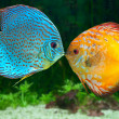 Two fish kissing - Stock Photo