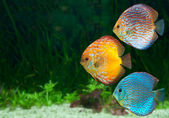 Three bright discus in aquarium — Stock Photo