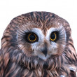 Short-eared owl portrait — Stock Photo #19849081