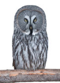 Great Grey Owl isolated on white — Stock Photo