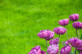 Tulips and grass — Stock Photo