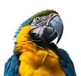 Portrait of Blue-and-yellow Macaw — Stock Photo