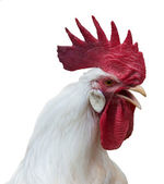 White rooster with a large red comb — Stock Photo