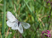 Two Black-veined White butterflies on one flower — Stock Photo