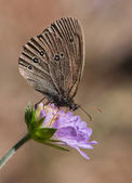 Ringlet on a blue flower — Stock Photo
