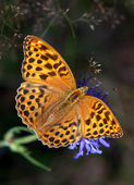 Silver-washed Fritillary on a blue flower — Stock Photo