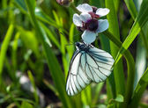 Black-veined White butterfly on a white flower — Stock Photo