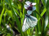 Schwarz-veined weiß Schmetterling auf eine weiße Blume — Stockfoto