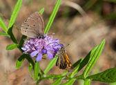 Zwei schmetterlinge auf einer blüte — Stockfoto