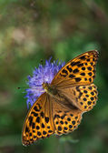 Silver-washed Fritillary on a Knautia flower — Stock Photo
