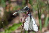 Two white butterflies on one flower — Stock Photo
