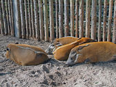 Sleeping pigs — Stock Photo
