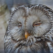 Slumbering owl — Stock Photo