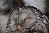 Slumbering owl — Stock Photo