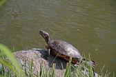 Wasser schildkröte — Stockfoto