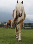 Haflinger — Stock Photo