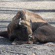 Wild bison — Stock Photo #12793464