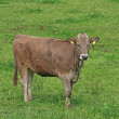 Brown cattle — Stock Photo #12817129