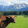 Brown cattle — Stock Photo #12817368