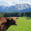Brown cattle — Stock Photo