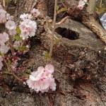 Almond blossom — Stock Photo
