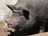 Suspension bridge-pig — Stock Photo