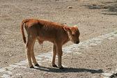дикого крупного рогатого скота — Стоковое фото