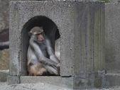 Rhesus Monkey — Stock Photo