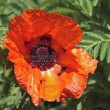 Turkish poppy — Stock Photo