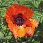Turkish poppy — Stock Photo