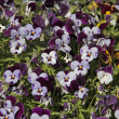 Stock Photo: Pansies