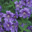 Cranesbill — Stock Photo