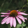 Pink aster — Stock Photo #24744623