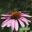 Pink Aster — Stock Photo #25008795